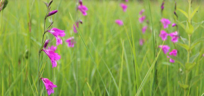 Streuwiese Sumpfgladiole ©Bianca Burtscher